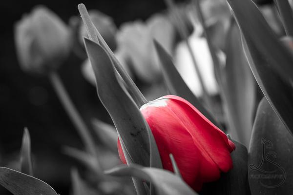 Broken tulip bloom | LotsaSmiles Photography